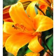 Луковица лилии Оранж Планет (Трубчатые гибриды)
