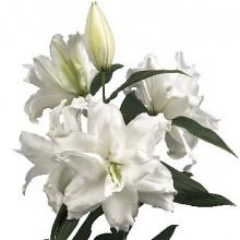Луковица лилии Розелли Дежима (Восточные махровые)
