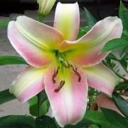 Луковица лилии Буги Вуги (ОТ-гибрид)