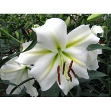 Луковица лилии Гизмо (ЛОО-гибрид)