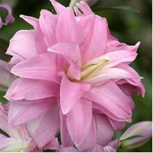 Луковица лилии Лотус Бриз (Восточные махровые)