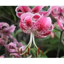 Луковица лилии Специозум Ушида (Редкие видовые гибриды)