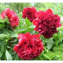 Пион травянистый Ред Суприм