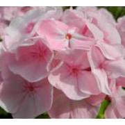 Флокс метельчатый Цвет яблони
