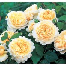 Роза Крокус Роуз (английская)