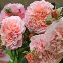 Роза Роз де Толбиак (плетистая)