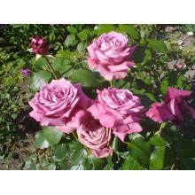 Роза Клод Брассер (чайно-гибридная)