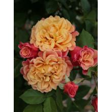 Роза Алоха (плетистая)