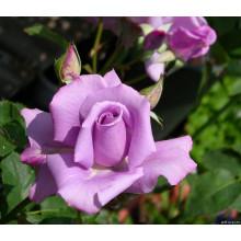 Роза Блу Мун (чайно-гибридная)