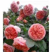 Роза Чиппэндейл (чайно-гибридная)