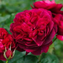 Роза Дарси Бассел (английские)