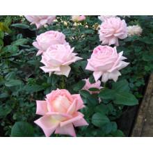 Роза Эмейзинг Грейс (чайно-гибридная)