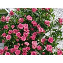 Роза Лавиния (плетистые)