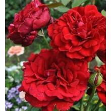 Роза Нахеглут (плетистая)