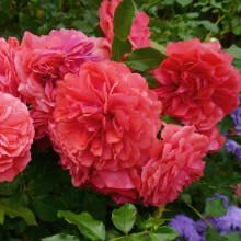 Роза Розариум Ютерсен (флорибунда, полуплетистая)