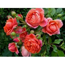 Роза Саммер Сонг (английская)