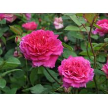 Роза Софиз Роуз (английская)