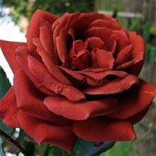 Роза Терракота (Чайно-гибридная)