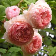 Роза Вильям Моррис (английская)