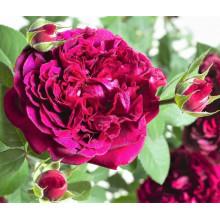 Роза Вильям Шекспир (английская)
