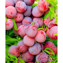 Слива Красный Шар + Скороплодная , дерево с прививками 2-х сортов(ОКС, 2-летка)